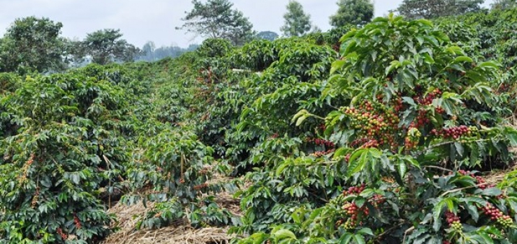 African coffee producers expect low prices